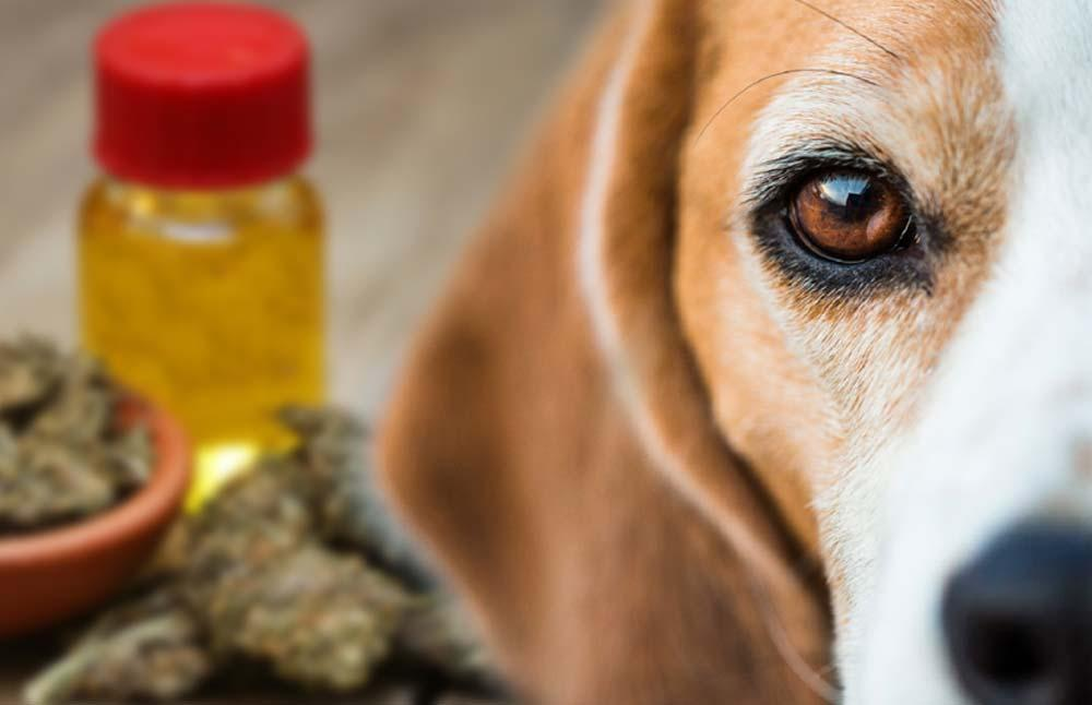 Do CBD Oil Products Actually Work For Pets?