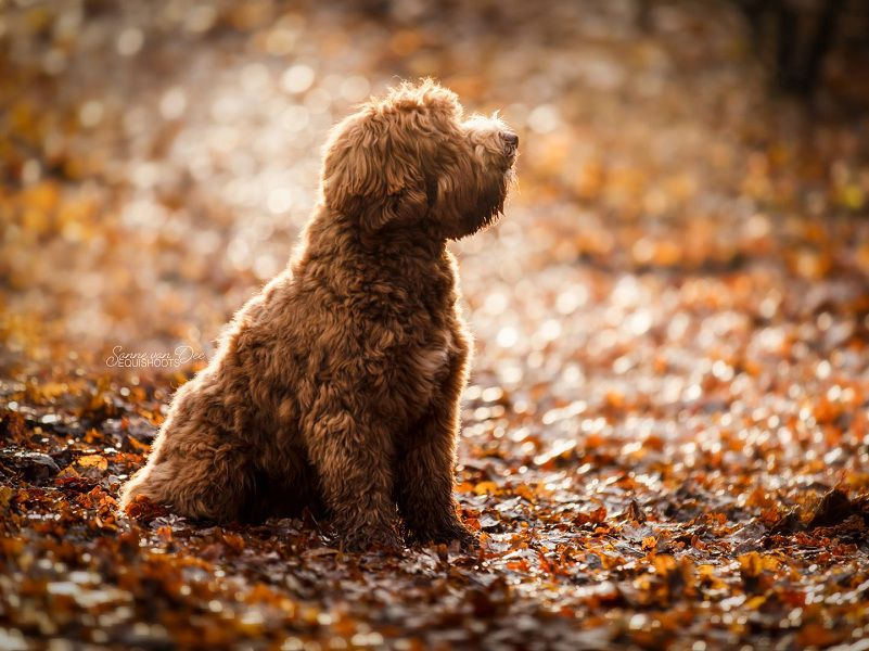 Are Labradoodles the Best Family Dogs?