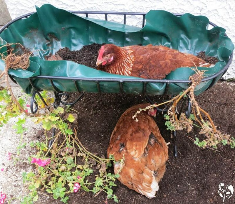This Is How to Take Care of Chickens