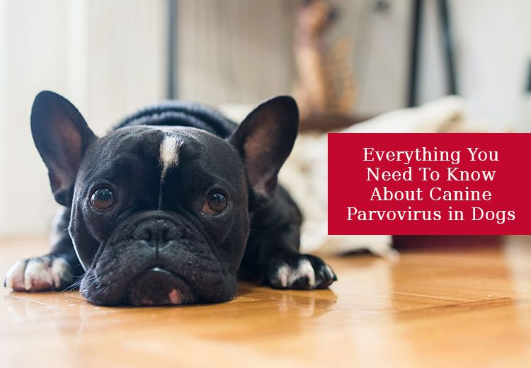 Everything You Need To Know About Canine Parvovirus in Dogs