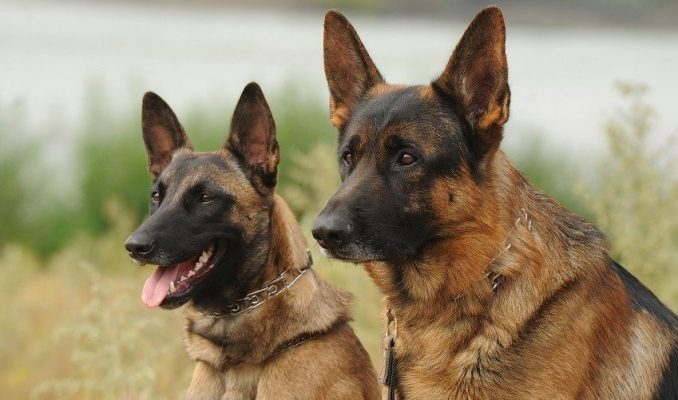 German Shepherd versus Belgian Shepherd Comparison