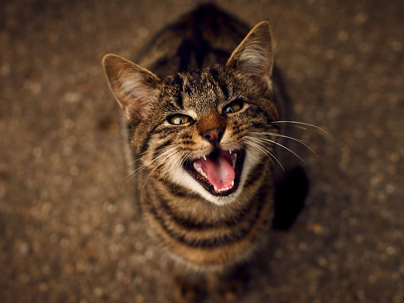 Feline Excessive Meowing & Yowling – Top Reasons Why Cats Meow