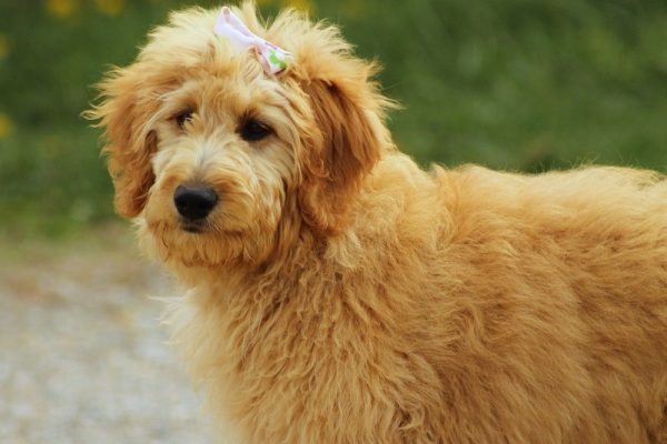 All You Need to Know about Goldendoodle