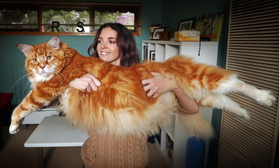Life with a Big Maine Coon Cat