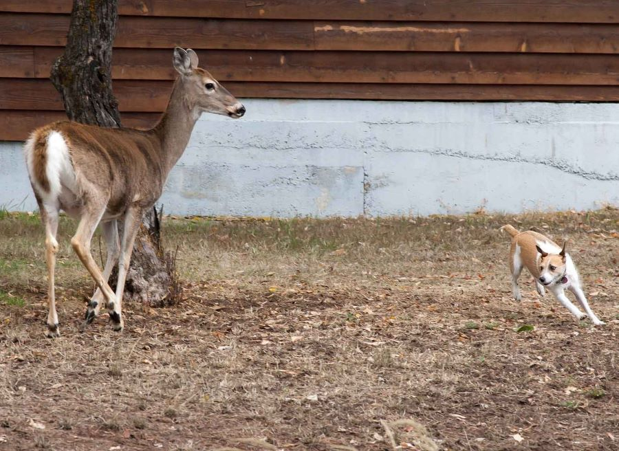 How to Train Dogs to Track Deer?
