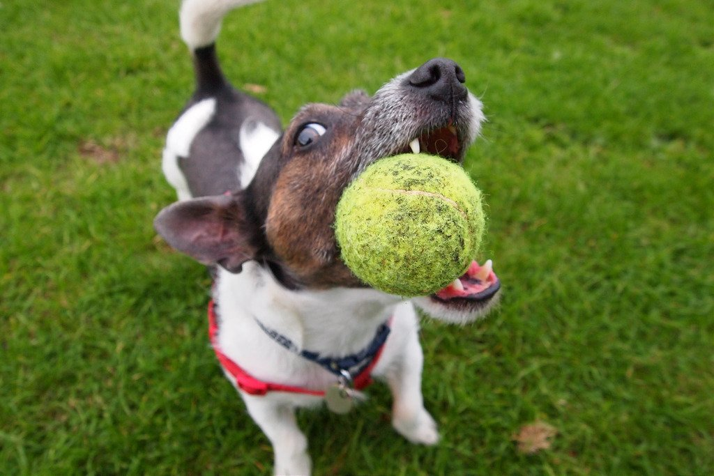 How to train Dogs to play with balls