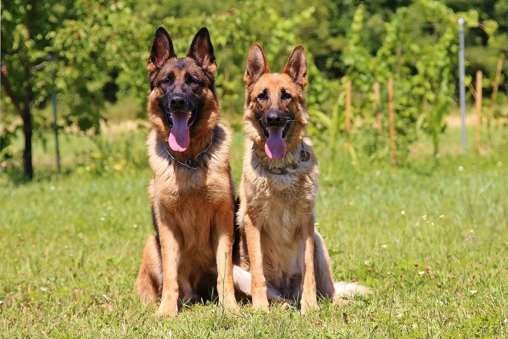 Do's and Don'ts When Exercising Both Young and Old German Shepherd