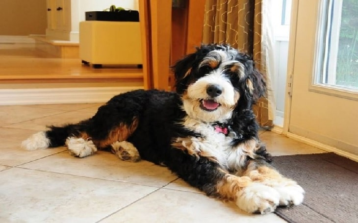 Is a Bernedoodle Hypoallergenic Dog?