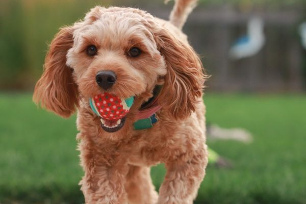 6 Reason Why Goldendoodles are So Popular