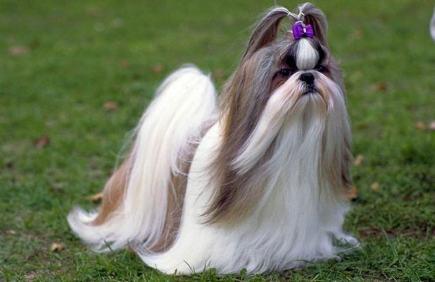 Why do people fall in love with the Shih Tzu Breed
