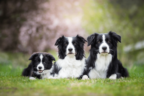 Border Collie Price & Cost: How Much Does It Cost To Own A Border Collie?