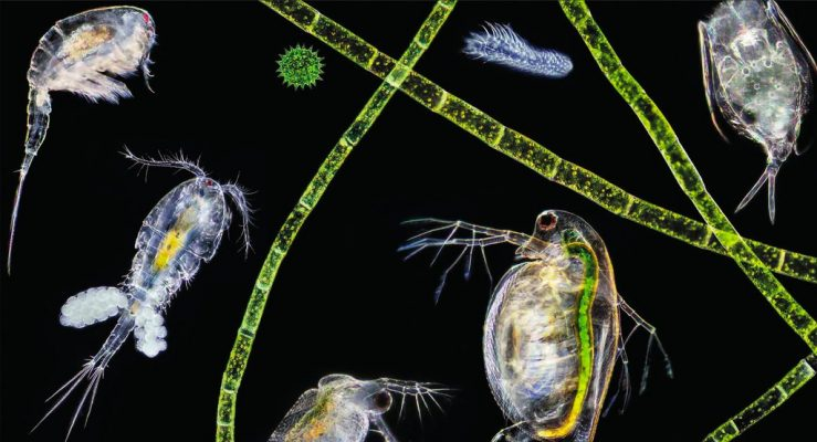 Copepods in Aquarium Tanks: How to Introduce and Maintain Them