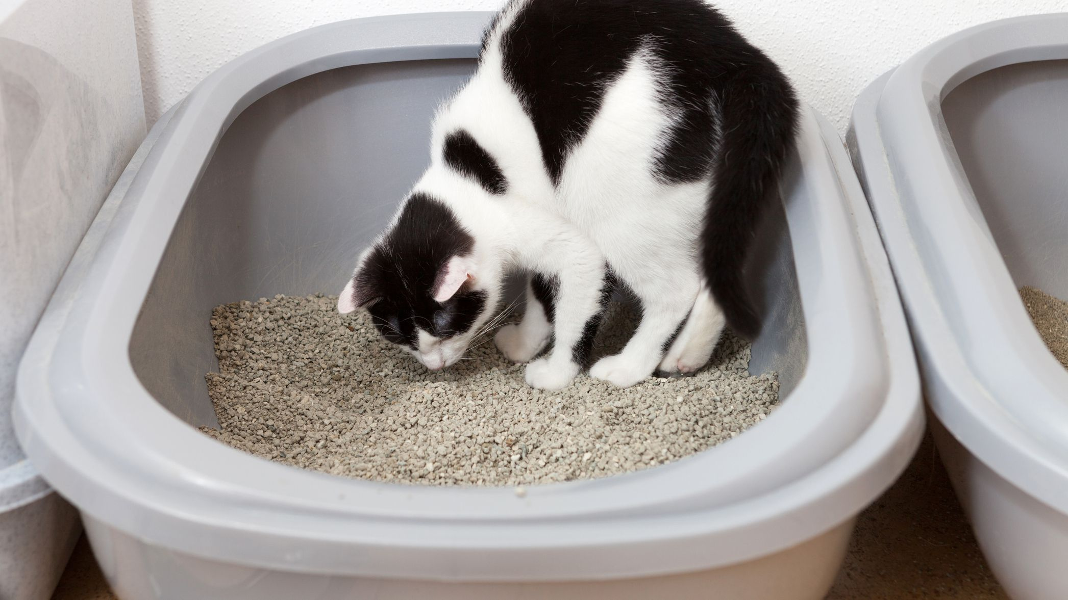 Why do cats want to eat cat litter?